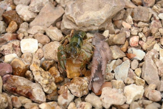 Crawdad (crustacean), Cherryville, MO