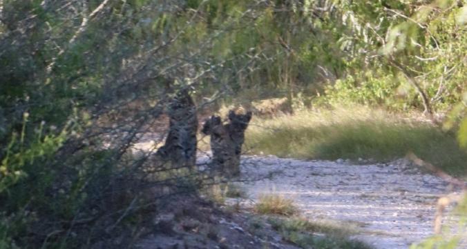 Bobcats (mammals), Oso Wetland Preserve