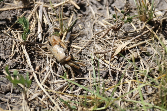 Fiddler Crab (crustacean), Nueces Delta Preserve