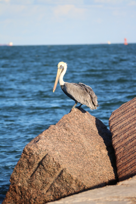 Pelican (bird), Port Aransas Jetty